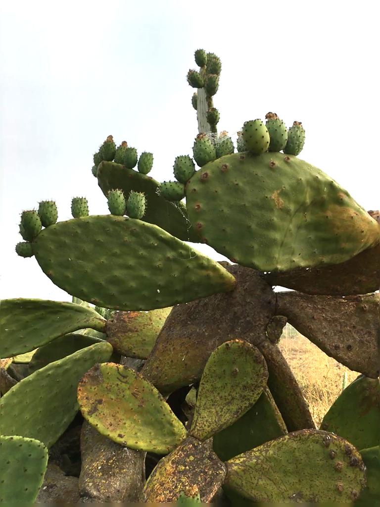 海に近いチピオナではサボテンも生い茂る